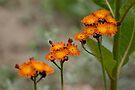Orange Hawkweed by Michael Cummings