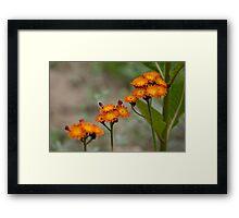 Orange Hawkweed Framed Print