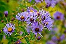 New England Aster by Michael Cummings