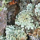 Green Shield Lichens by Laurel Talabere