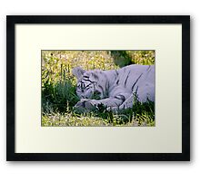 Sleeping White Tiger Framed Print