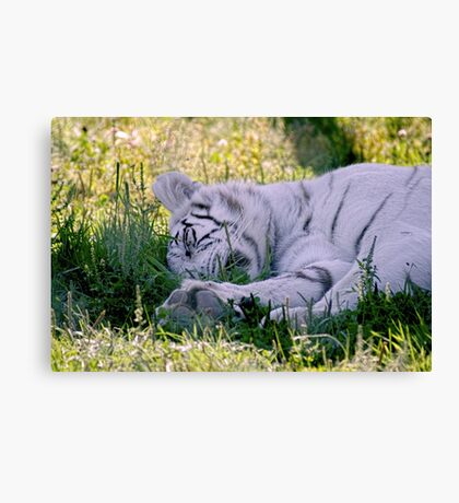 Sleeping White Tiger Canvas Print