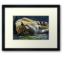 Sleeping Tiger Framed Print