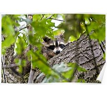 Sleeping Raccoon Poster