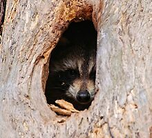 Raccoon in nest - Ottawa, Ontario by Michael Cummings