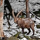 Ibex in Winter by Michael Cummings
