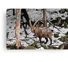 Ibex in Winter Canvas Print