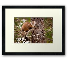 Pine Marten In Pine Tree Framed Print