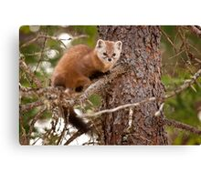 Pine Marten In Pine Tree Canvas Print