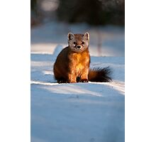 Pine Marten Photographic Print