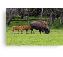 Bison And Calves Canvas Print