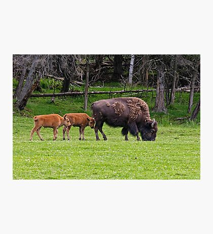 Bison And Calves Photographic Print