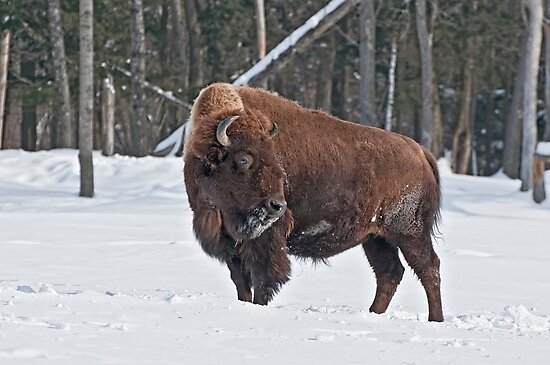 Bison In Winter by Michael Cummings