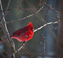 Winter Male Cardinal by LeeAnne Emrick