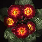 Polyanthus 1 by Brian Haslam