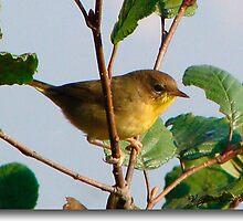 Yellow Warbler by vigor