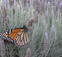 Butterfly in Lavender, Barossa Valley, South Australia by JewelsSmith