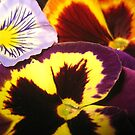 Pansies   by jsmusic