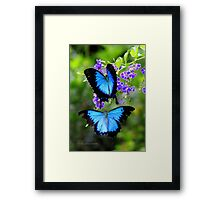 Papillio Ulysess in a Courtship flight  Framed Print