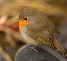 Robin on my boot by Jon Lees