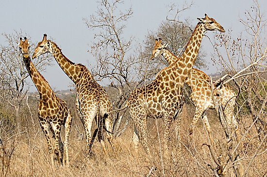 Giraffes by Michael  Moss