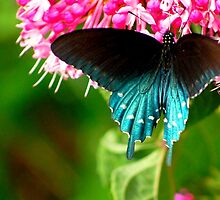 Pipevine Swallowtail (Battus philenor)  by Bron Praslicka