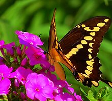 Giant Swallowtail Butterfly (Papilio cresphontes) by Bron Praslicka