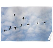 Tundra Swans in Flight Poster
