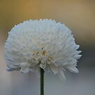 White Chrysanthemum by Lozzar Flowers & Art