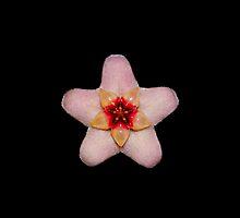 Uno Hoya Carnosa by Scott Mitchell
