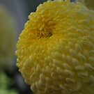 Yellow Chrysanthemum at Conservatory by Lozzar Flowers & Art
