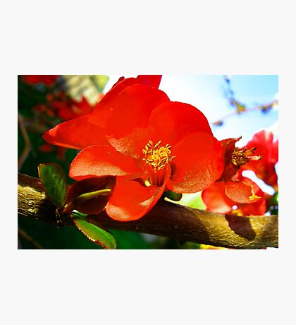 Flowering Quince in the Afternoon Photographic Print