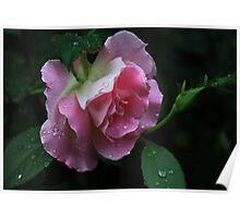 Pink -Rose Poster