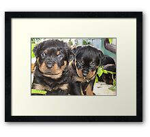 Rottweiler Puppies - Portrait Framed Print