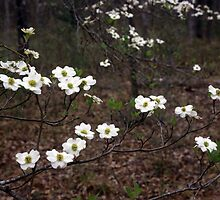 East Texas Dodwood Flowers by Mike Norton