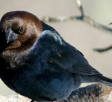 Brown-Headed Cowbird ~ Handsome Pest  Sticker