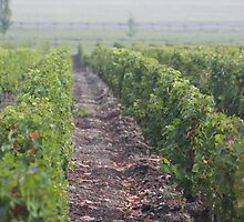 Vine Rows by awiseman