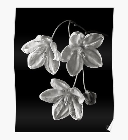 Solanum Jasminoides in Black and White Poster