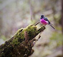 pink robin by col hellmuth