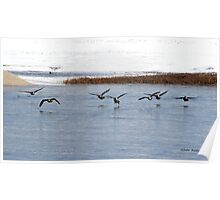 Canadian Geese Takeoff Poster