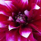 Big Red Closeup by scholara