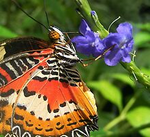 Malay Lacewing Butterfly drinking Nectar by FizzyImages