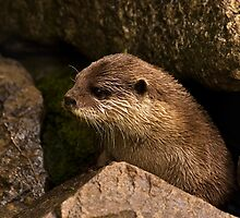 otter emerging from holt by Fisher