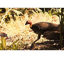 Brush turkey Photographic Print