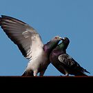Rock Pigeons - Courtship on a steel girder by Joy Danen