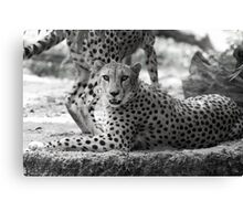 Cheetah resting on hot day in black and white Canvas Print