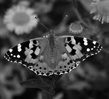 painted lady butterfly in black and white by nymphalid