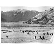 Merino sheep in deep New Zealand valley Poster