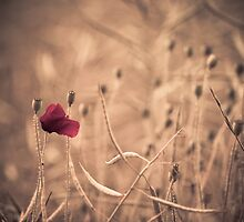 Last poppy in the field by Derik128