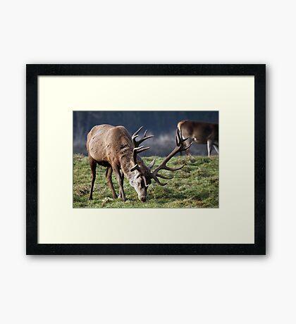 Red deer Stag in winter Framed Print